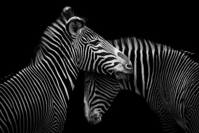 CEWE - zebras